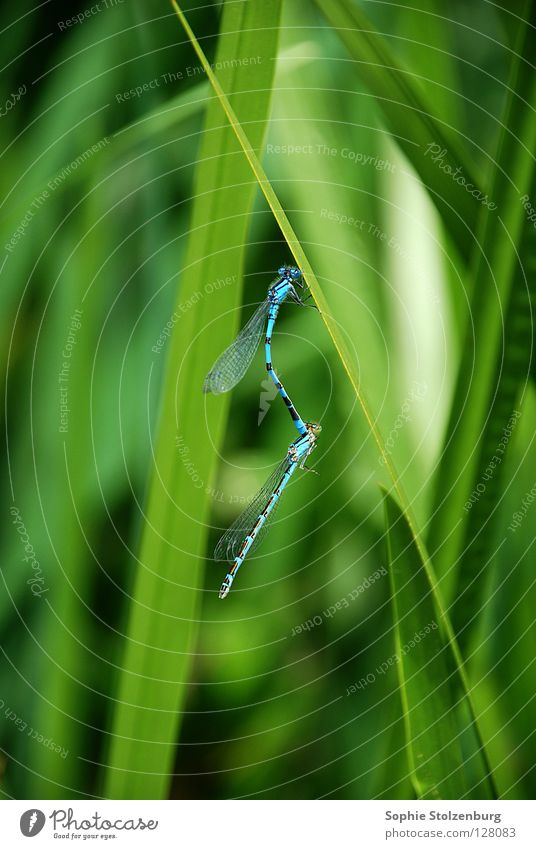Dragonflies in love Dragonfly Insect Propagation Green Nature Blue Macro (Extreme close-up) In pairs Pair of animals