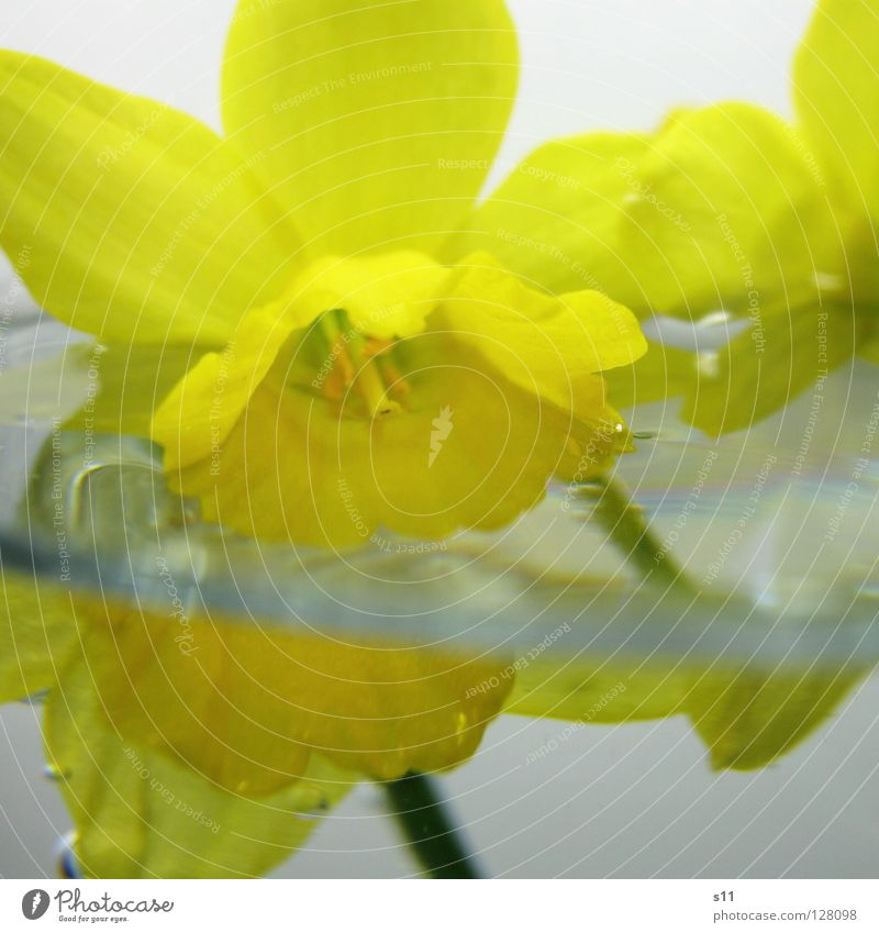 Nature Water Flower Yellow Life Spring Blossom Growth Decoration Glass Wet Float in the water Under Double exposure Blossom leave Half
