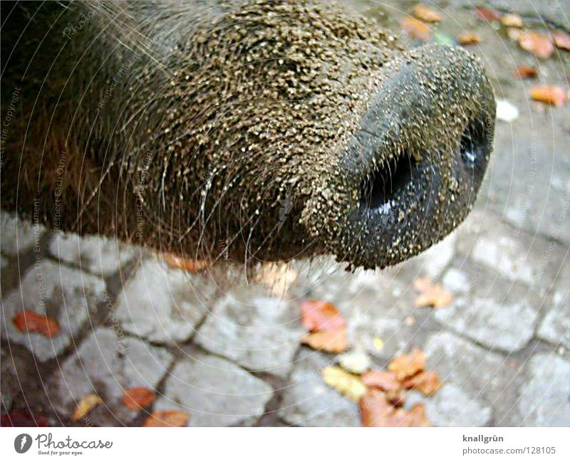 dirty trunk Socket Trunk Odor Nostril Bristles Swine Sow Even-toed ungulate Zoo Brown Gray Leaf Autumn Grain of sand Mammal Husum protest pig Sand Dirty Skin