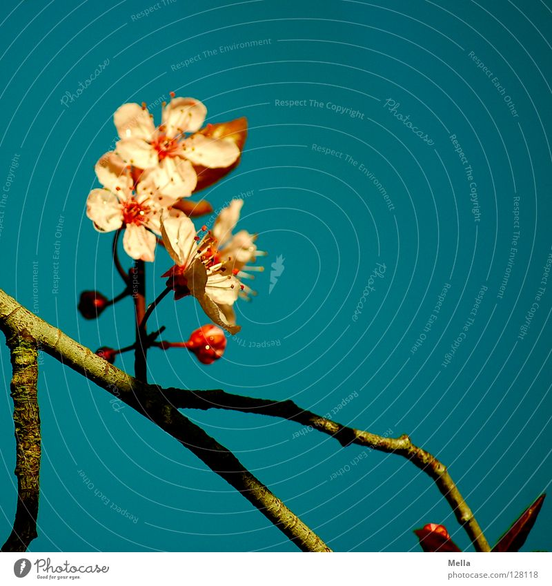 Sky Blue Tree Lighting Spring Blossom Garden Pink Park Bushes Branch Blossoming Beautiful weather Delicate Asia Twig