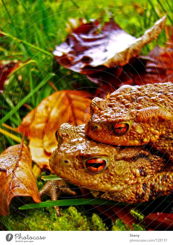 toad migration Meadow Grass Leaf Wet Damp Toad migration Green Together Dangerous Macro (Extreme close-up) Close-up Male Toad female toad Rain Orange
