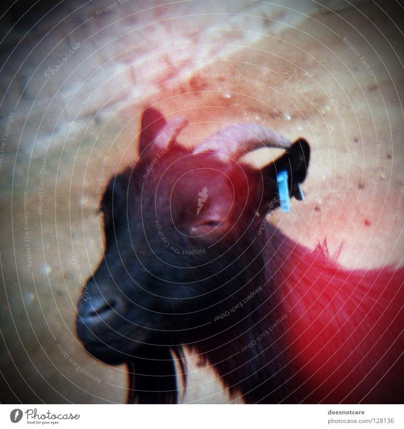 Old bitch! Goats Lomography Pet Farm animal Antlers Devil 666 Facial hair Petting zoo Mammal Diana vignette the animal light leaks