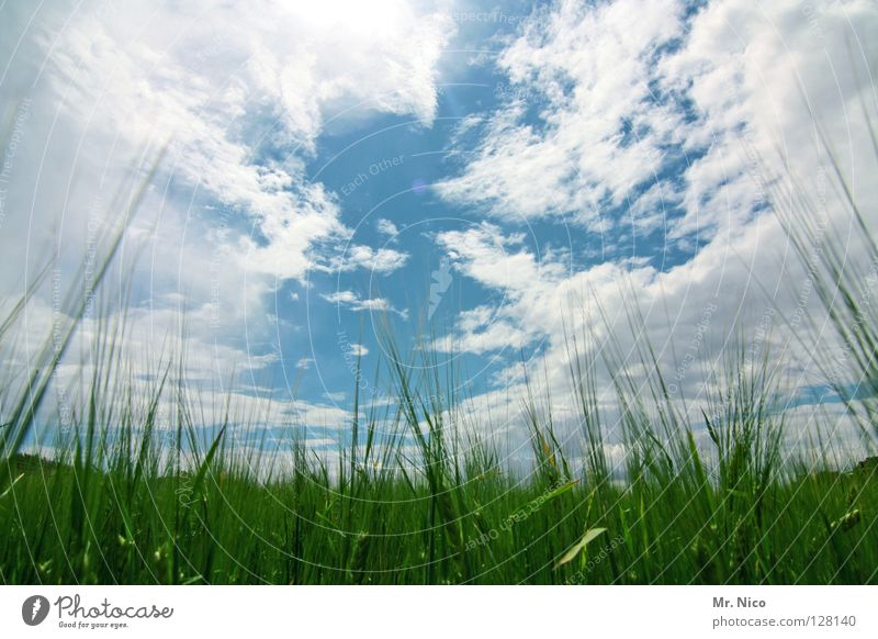 / i l i l i l i \ Field Cornfield Sky blue Cloud pattern Heavenly Juicy Bilious green Green White Clouds Bad weather Ear of corn Agriculture Cloud formation