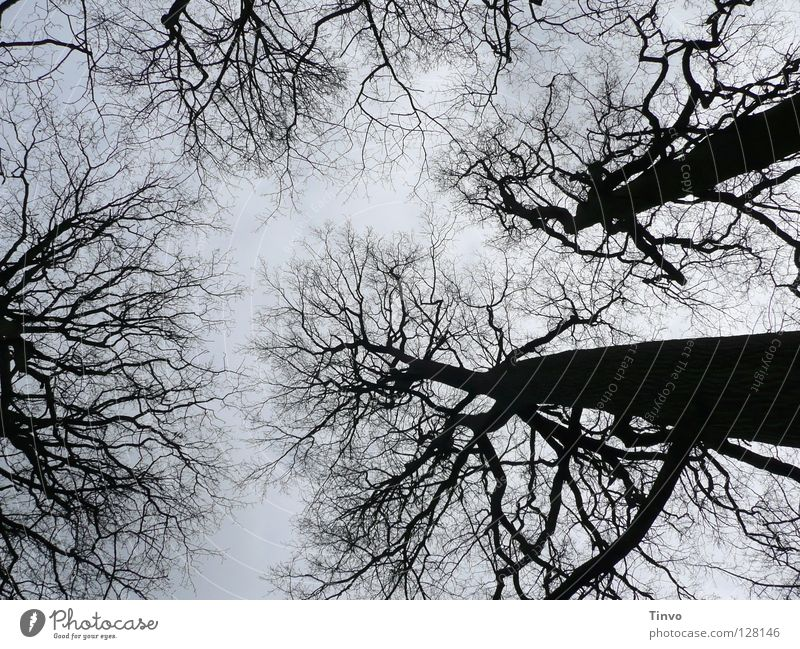 View to the sky Tree Treetop Winter Branchage Forest Twig Tall Sky Shadow Nature Black Gray Light blue