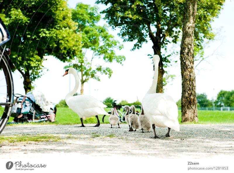 family trip Nature Landscape Summer Beautiful weather Tree Bushes Park Meadow Lakeside Bird Swan Baby animal Animal family Feeding Going Elegant Fresh Curiosity
