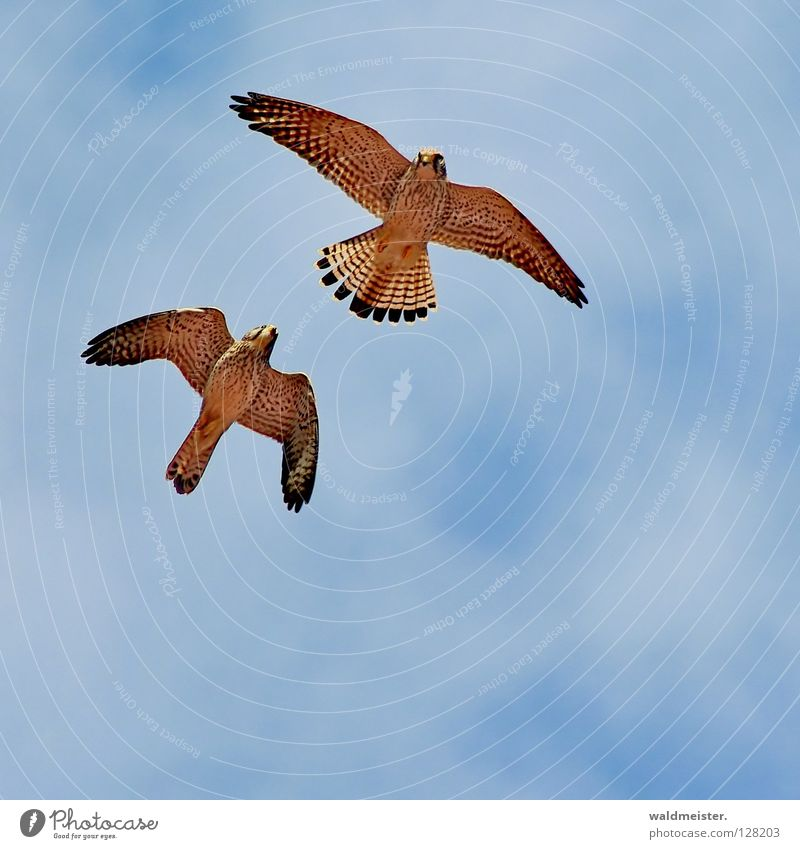 Two falcons one Falcon Kestrel Bird Clouds Together Rutting season Tails Environmental protection Bird of prey Sky tail feathers against pigeons pigeon plague