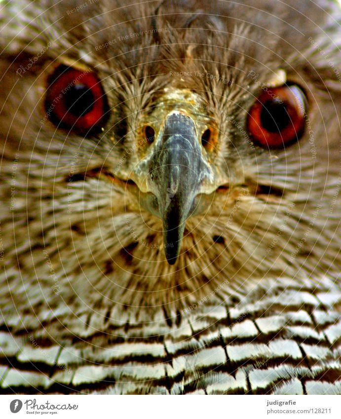 Nature White Black Eyes Animal Yellow Colour Brown Bird Environment Feather Stripe Wild animal Beak Bird of prey Hawk
