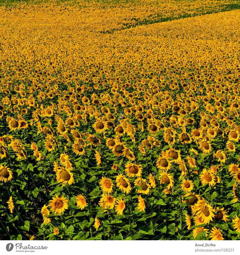 Sunflower field VI Flower Summer Yellow Spring Agriculture Diligent Work and employment Happiness Friendliness Fresh Pattern Blue Nature Landscape Happy Row