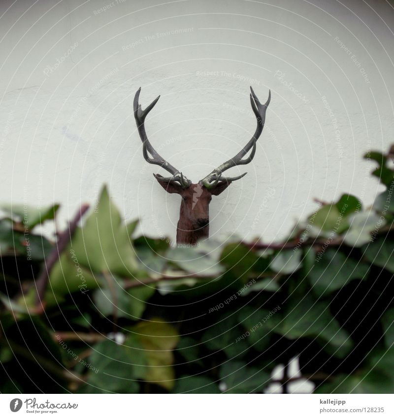 at king's Deer Elk Animal Antlers 12 Royal stag Hunter Bushes Ivy Hedge Neighbor House (Residential Structure) Buck Symbols and metaphors Adjectives Reindeer