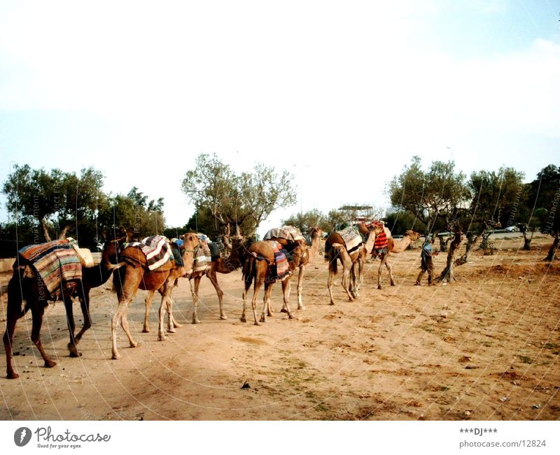 camels Camel Vacation & Travel Tunisia Animal Cactus
