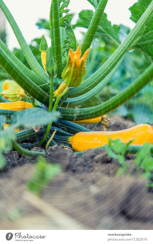 urban gardening bio zucchini Food Vegetable Zucchini Zucchini blossom Nutrition Organic produce Vegetarian diet Diet Fasting Slow food Lifestyle Healthy Eating