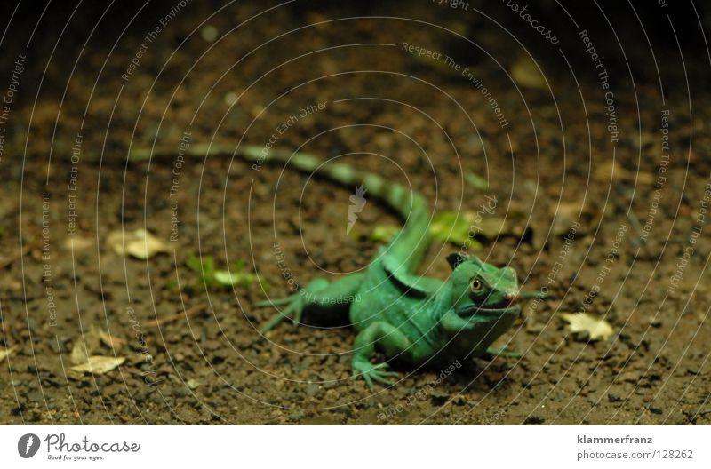 Leaf Animal Ground Science & Research Pet Reptiles Saurians Iguana Lizards Green Iguana