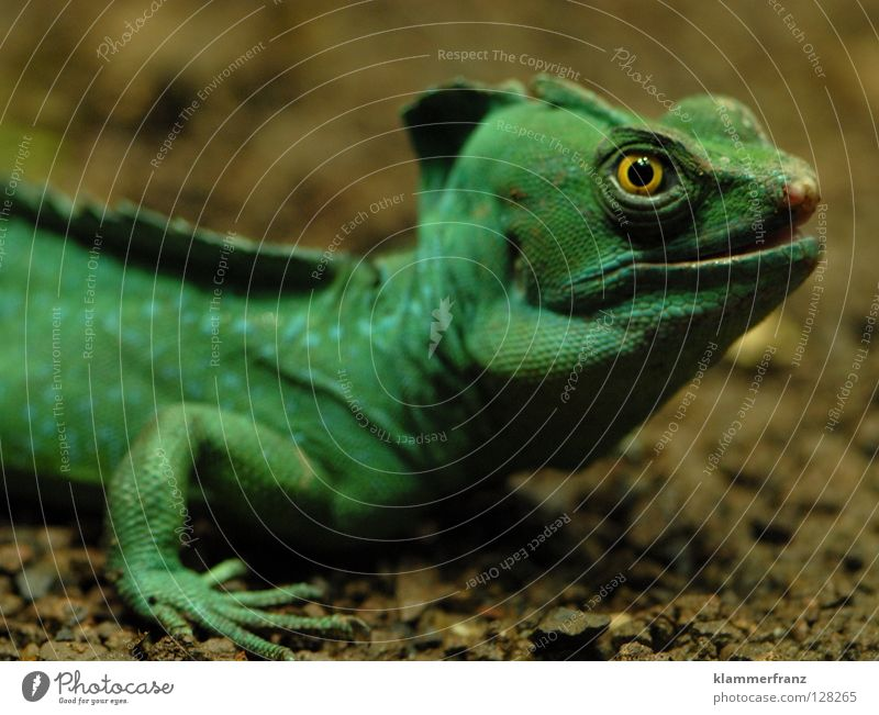 Green Eyes Education Muzzle Saurians Lizards Iguana