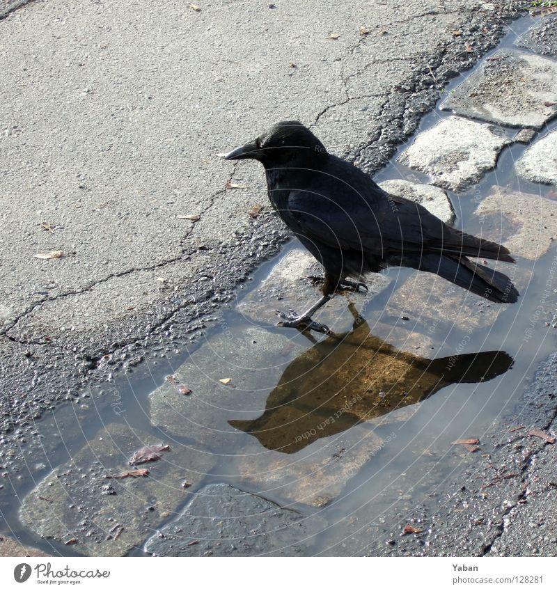 Black Dark Bird Fear Dangerous Asphalt Cobblestones Disaster Panic Eerie Raven birds Crow Popular belief Jackdaw