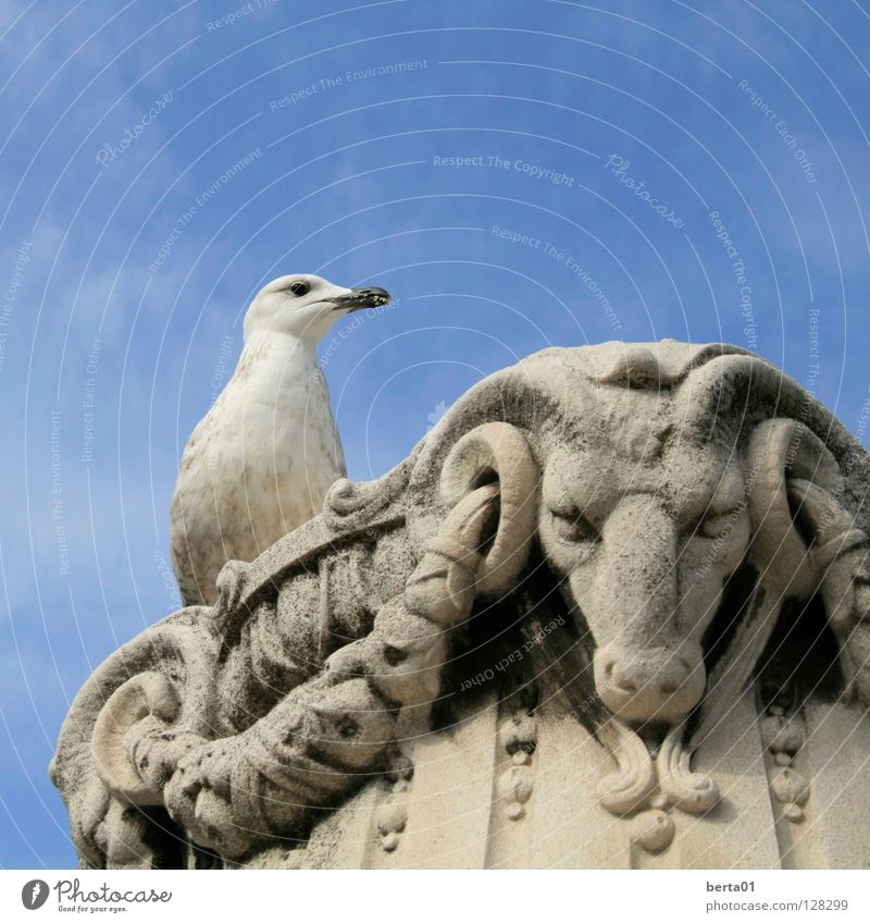 Look me in the eye! Seagull White Bull Motionless Evil Devil Curiosity Obscure Might Fight Looking