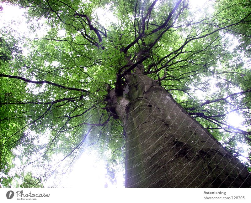 pedigree Plant Tree Leaf Growth Large Brown Green Perspective Branchage Deciduous tree Tree bark Tree trunk Worm's-eye view Leaf canopy Back-light Blur Deserted