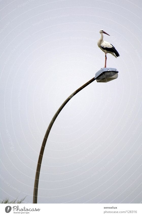 Klapperstorch seeks field mouse Stork Street lighting Lamp Lantern Birth Vantage point Mainstay Stand Silhouette Bird Adjustment Review Profile Hunting Observe