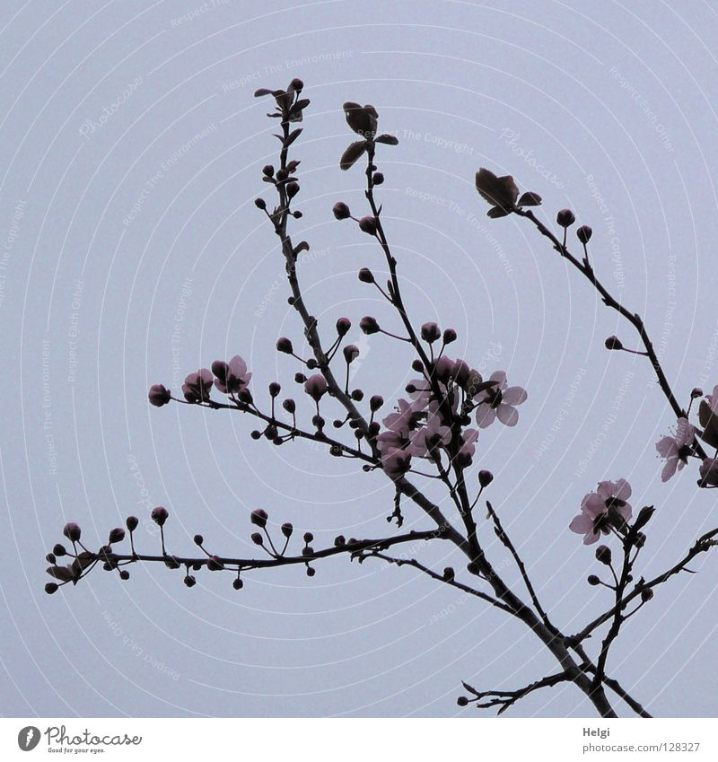 Branches with pink spring flowers in front of a grey-blue sky Blossom Blossoming Tree Spring March April Spring flowering plant Branchage Branched Multiple Long