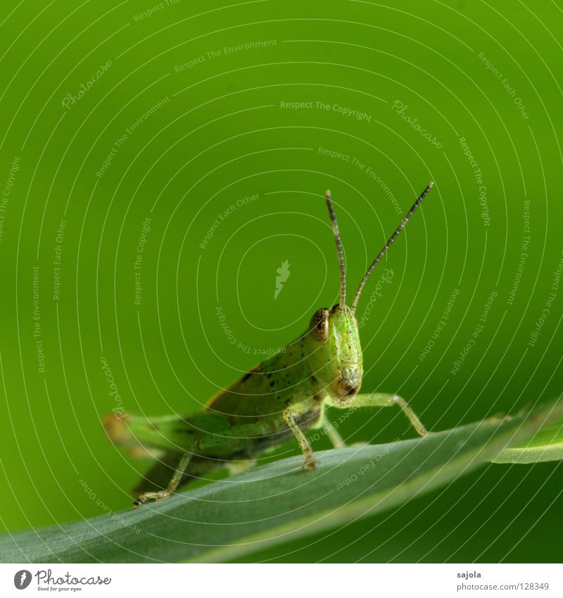 Nature Green Leaf Animal Head Brown Wait Sit Insect Observe Wild animal Hide Feeler Locust Camouflage