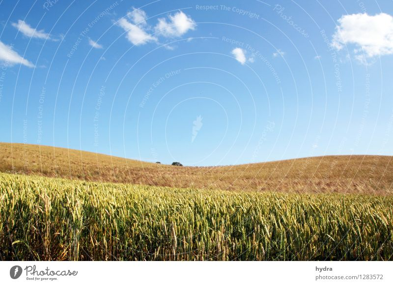 Gentle hills with cornfield in front of blue sky with white clouds Grain Wholewheat Organic produce Vegetarian diet Healthy Eating Vacation & Travel Summer