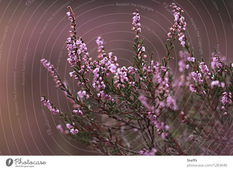 old fashioned in brown-pink the heather blooms flowering heath Heathland native wild plant Nordic romanticism Nordic nature Poetic Nordic plants Old fashioned