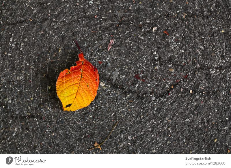 Leaf fallen from tree in autumn Nature Plant Autumn Old To fall Under Yellow Orange Senior citizen End Colour Decline Transience Asphalt Death wither