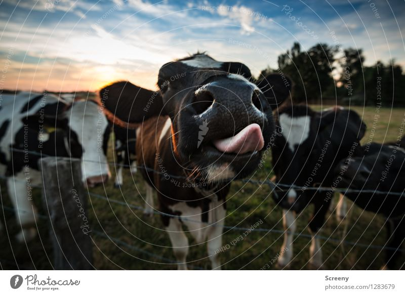 bite me... Agriculture Forestry Nature Landscape Plant Animal Sky Clouds Sun Sunrise Sunset Summer Beautiful weather Grass Meadow Field Farm animal Cow 4