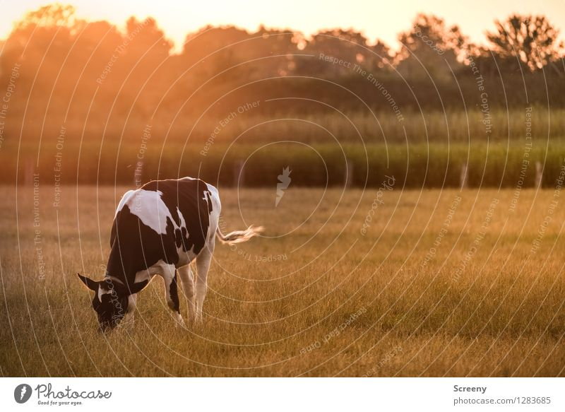 moo Agriculture Forestry Nature Landscape Plant Animal Sky Sun Sunrise Sunset Sunlight Summer Beautiful weather Tree Grass Bushes Field Farm animal Cow 1 Brown