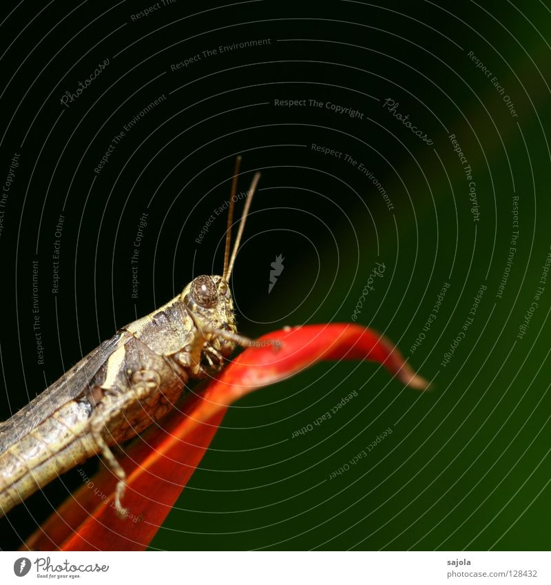 grasshopper Animal Blossom Insect Locust 1 Sit Brown Green Red Feeler Colour photo Exterior shot Close-up Macro (Extreme close-up) Copy Space top