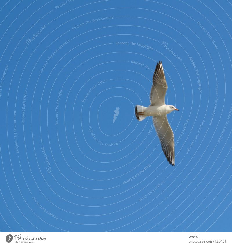 Seagull with aim before eyes Bird White Go up Upswing Sailing Gliding Air White-blue Beautiful weather Immaculate Pure Altitude flight New start Climber Success