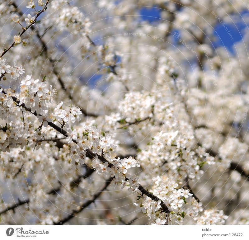 beginning of spring Spring Flower Blossom Bushes Physics White Joy Park Sky Warmth Fragrance Friedrichshagen