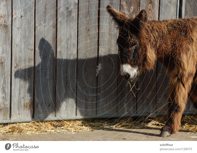 Sweet Ear Cute Pelt Facial hair Fatigue Mammal To feed Donkey Wooden wall Shadow play Oversleep Assistant