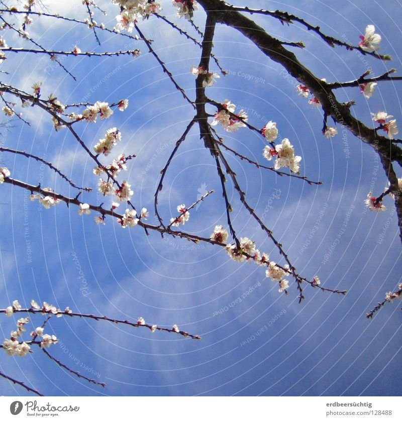 flower magic Sky Clouds Spring Tree Blossom Bright Blue Pink White Longing Colour Twig Delicate in the aftermath of vernally Indulgent Smooth Translucent