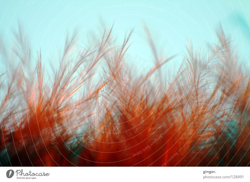 Flaming feather bushes Metal coil Cuddly Soft Blue Red Retroring Bushy Fine Thread-like Delicate Feather Flame Blue sky Disheveled Tousled Deserted