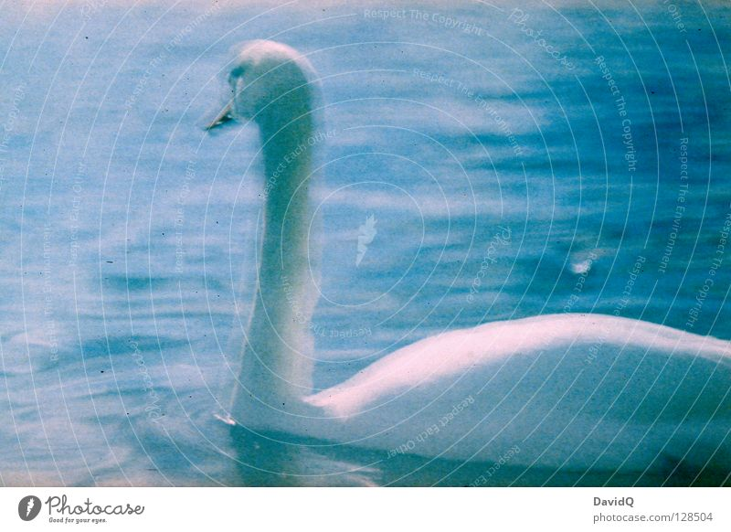 bulb Swan Bird Poultry Lake Body of water Long exposure Lomography Beautiful Feather Neck Water River Elegant Float in the water Swimming & Bathing