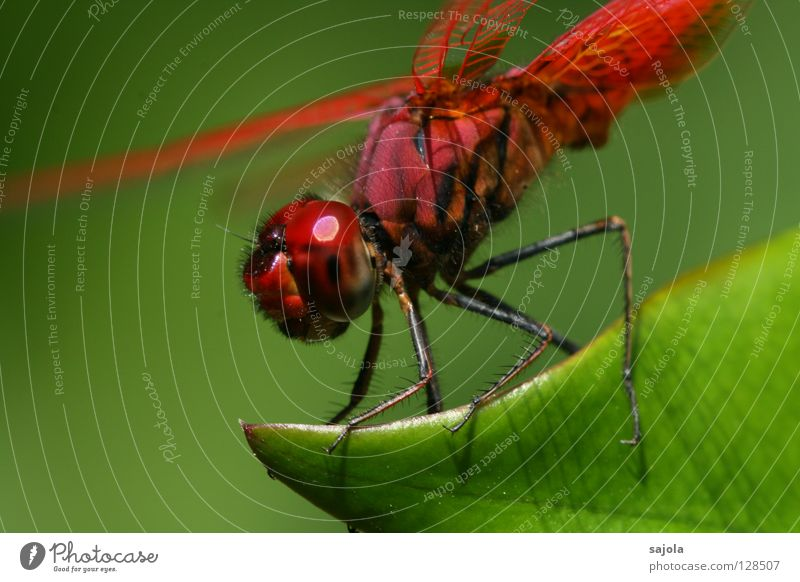Green Red Leaf Animal Legs Esthetic Wing Insect To hold on Wild animal Gaudy Dragonfly Compound eye Complementary colour Dragonfly wings