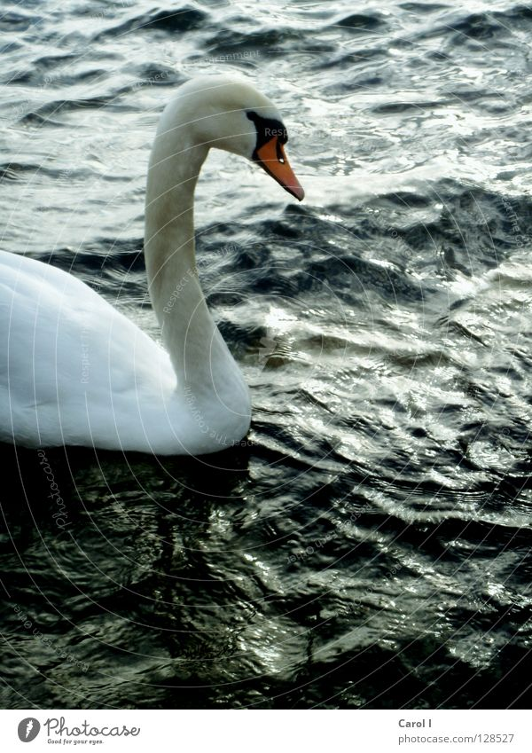 Blue Water White Green Beautiful Animal Black Dark Life Lake Bird Waves Wind Swimming & Bathing Drops of water Dangerous