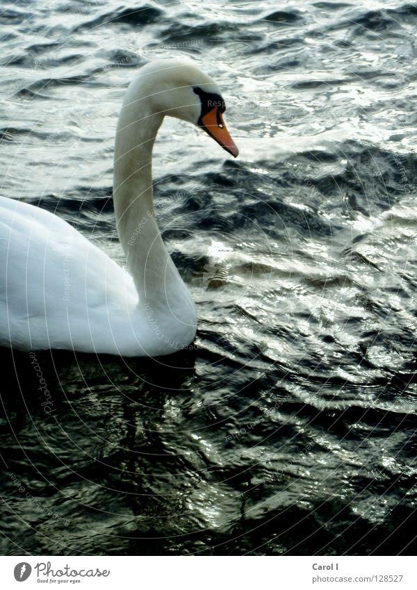 Blue Water White Green Beautiful Animal Black Dark Life Lake Bird Waves Wind Swimming & Bathing Drops of water Dangerous