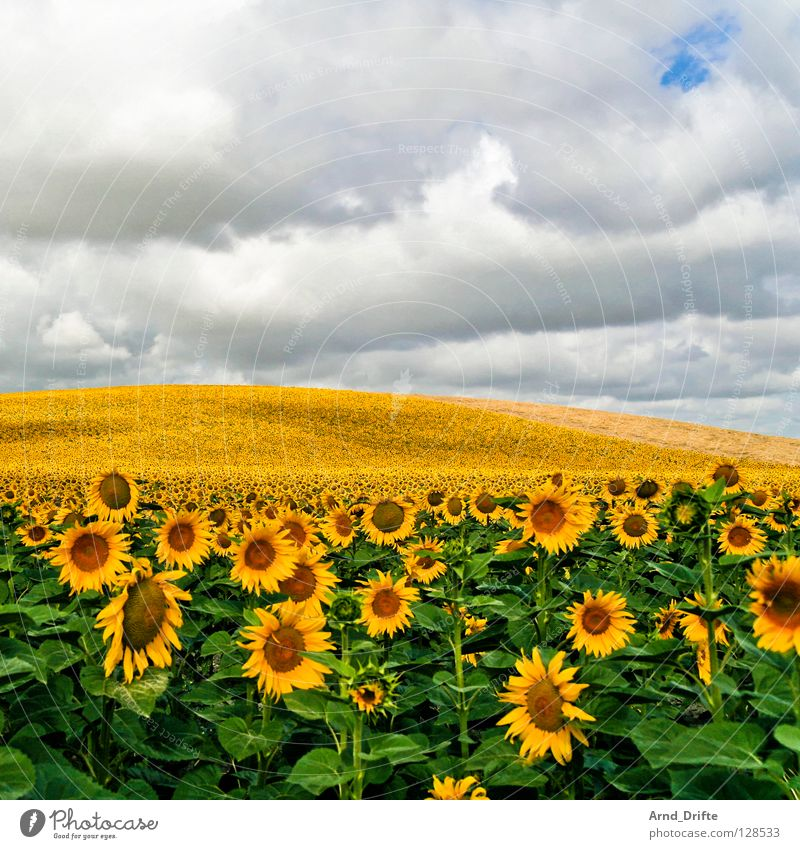 Sunflower field VII Clouds Field Flower Summer Yellow White Spring Horizon Agriculture Diligent Work and employment Happiness Friendliness Fresh Sky Blue Nature