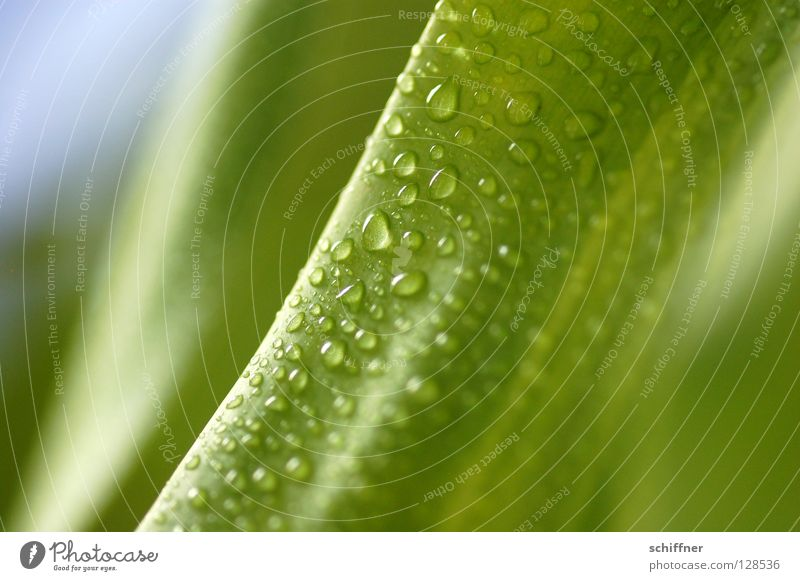 Lemon Line I Green Plant Foliage plant Houseplant Wet Drops of water Dripping Fresh Spring Wellness Background picture greenish Dragon tree Dracena Deremensis