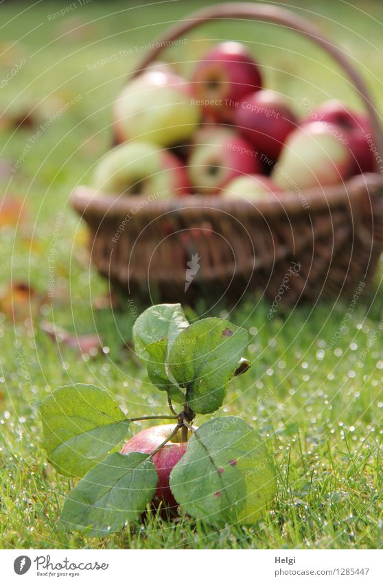 appelative Food Fruit Apple Nutrition Organic produce Vegetarian diet Basket Environment Nature Autumn Beautiful weather Plant Grass Leaf Foliage plant Garden