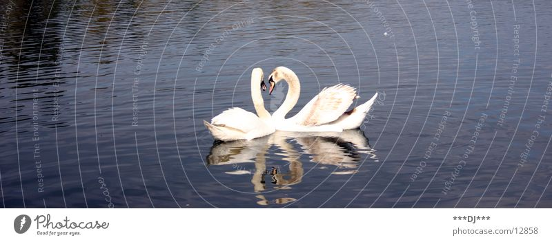 Love is...! Swan Lake Ocean Pond Bird Reflection Water River Feather Float in the water Swimming & Bathing