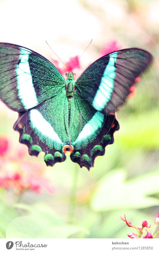fluttering imprisonment Nature Animal Plant Flower Leaf Blossom Garden Park Meadow Butterfly Wing green swallowtail 1 Observe Flying To feed Exceptional Exotic