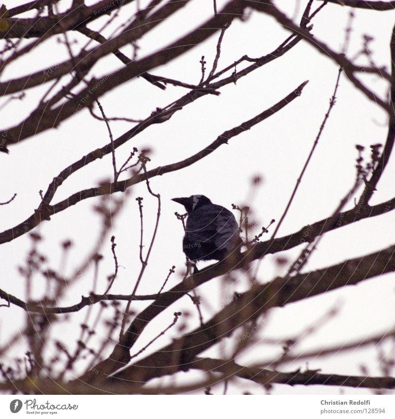 Black Clouds Animal Bird Weather Construction site Branch Treetop Mystic Branchage Bad weather Raven birds Crow