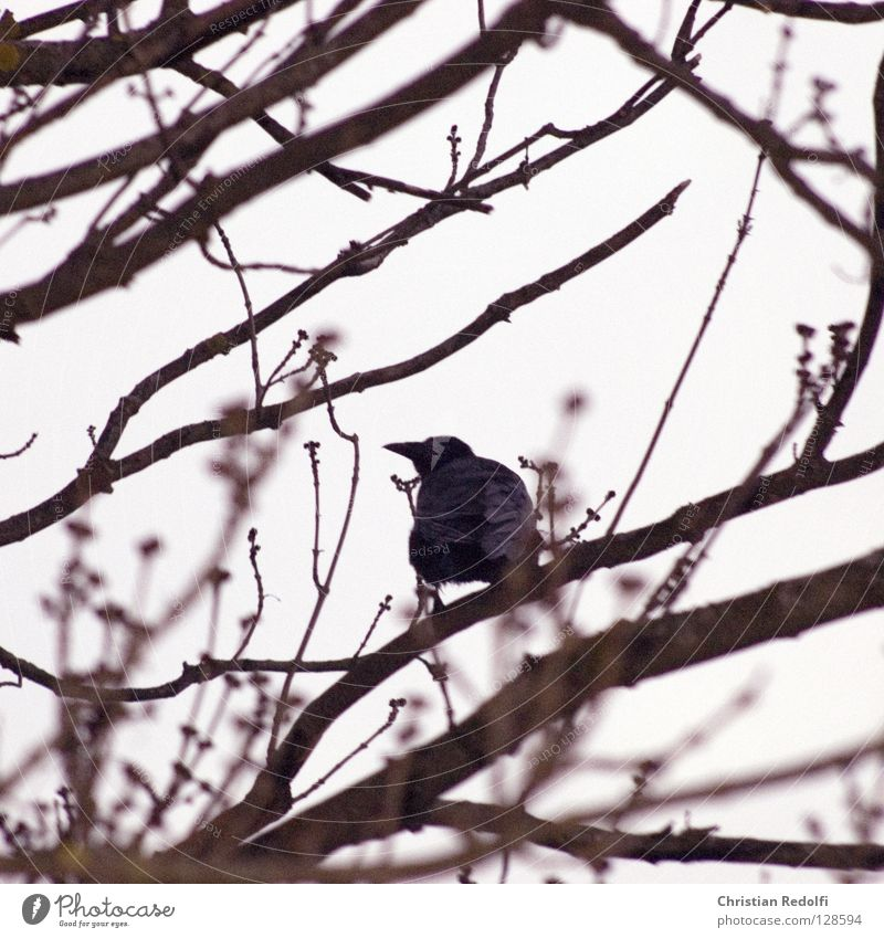 Black Clouds Animal Bird Weather Construction site Branch Treetop Mystic Branchage Bad weather Raven birds Crow