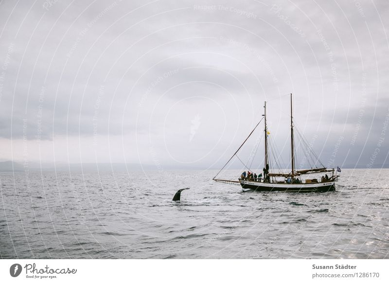 hej whale Navigation Boating trip Passenger ship Swimming & Bathing Whale Whaling Iceland husavik Ocean Fishing boat Excursion boat Whale watching Colour photo
