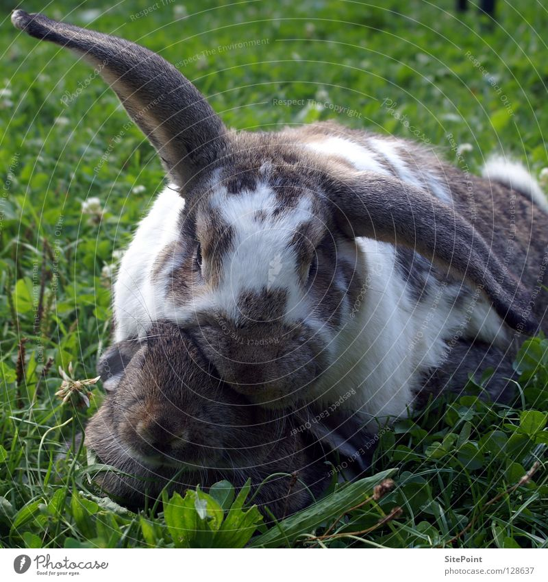 rabbit love Hare & Rabbit & Bunny Grass Offspring Matrimony Lop ears Sweet Cuddly Mammal Love long-eared Easter Bunny