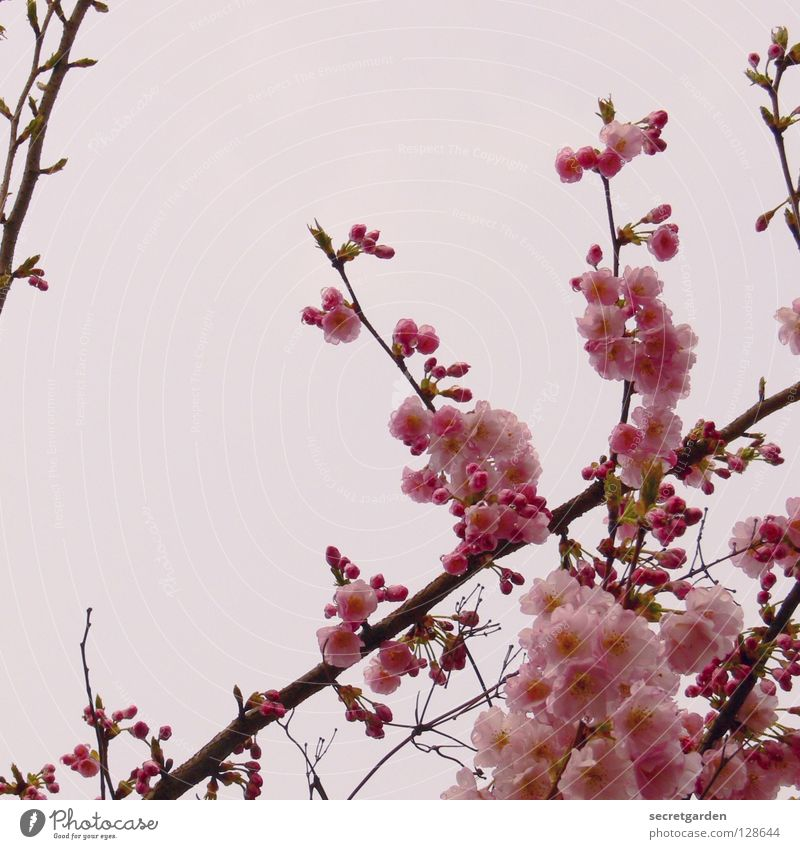 Japanese flower cherry (Prunus serrulata) Tree Blossom Pink White Bad weather April Watchfulness Cherry Cherry blossom Beautiful Culture Graceful Spring Nature
