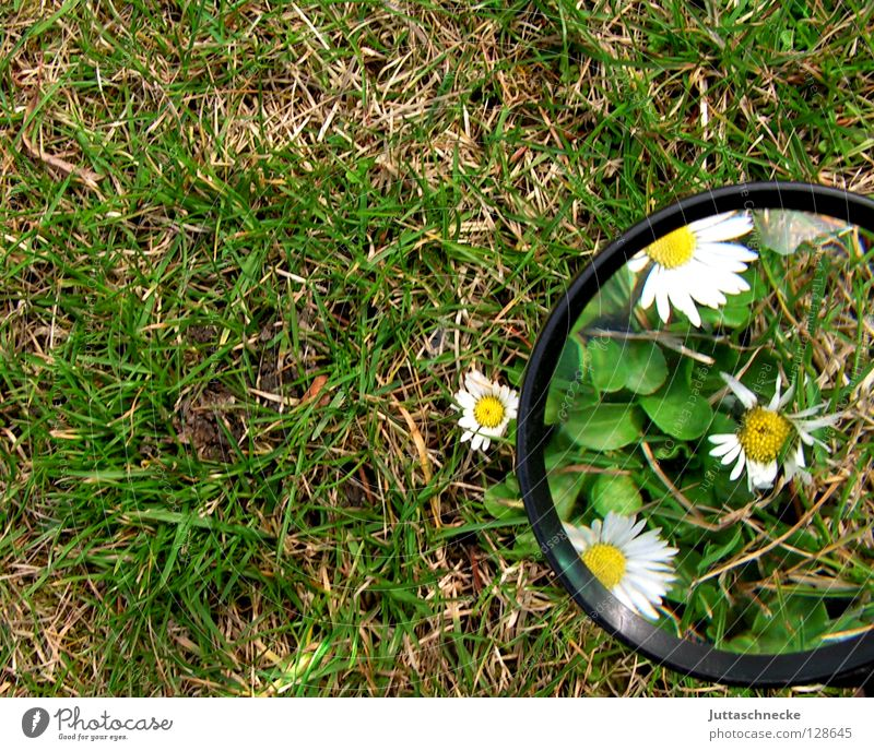 free bucket Magnifying glass Enlarged Flower Daisy Grass Spring Large Small Plant Growth Grown Green White Yellow Cute Snow melt Joy Garden Juttas snail