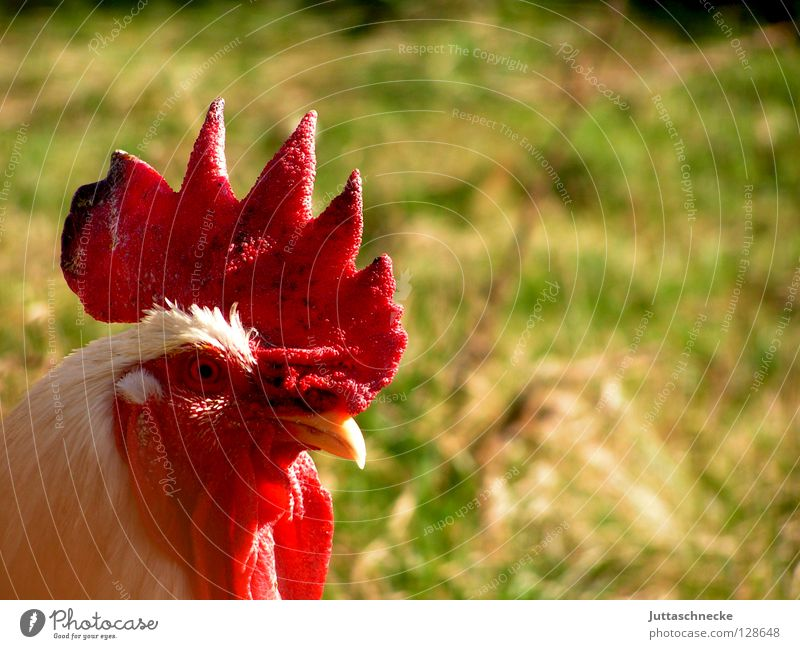 Green Red Animal Garden Flying Bird Field Feather Agriculture Farm Beak Barn fowl Farm animal Crow Rooster Comb